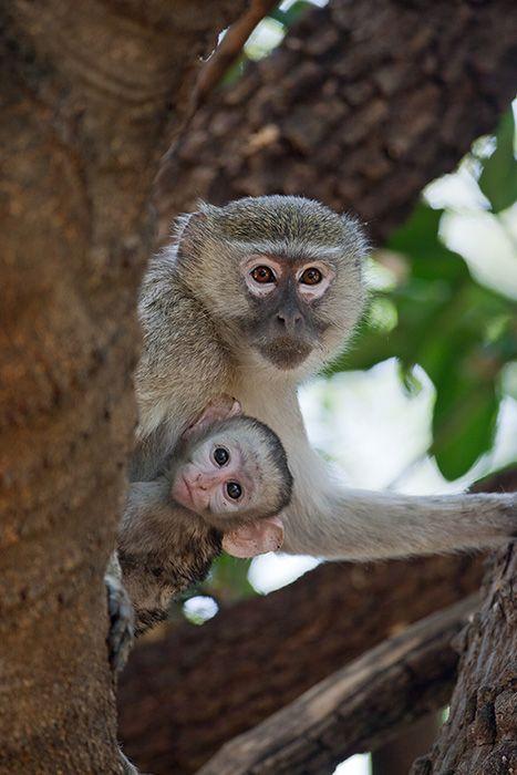 Primatas no Delta do Okavango