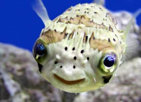 *Squeal of delight*: Puffer Fish, Animals, Sea Life, Pufferfish, Happy, Creatures, Ocean, Smile