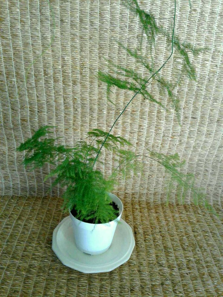 Plumosa fern / climbing asparagus fern / lace fern for sale from a one-person online plant nursery in Phoenix, AZ. Local meetup by appointment, or delivery may be possible for sizable orders.
