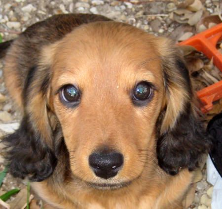 Dachshund pup (with gorgeous long hair & coloring)