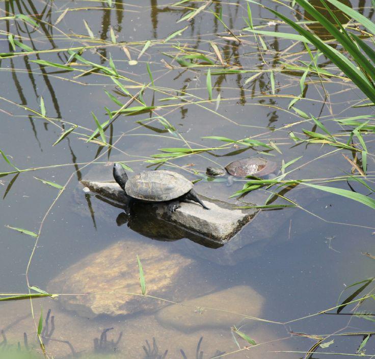 환경부에서 멸종위기종(2급) 및 천연기념물(453호)로 지정하여 관리하고 있는 토종 민물거북인 '남생이' 의 증식.복원을 위한 화담숲의 서식지
