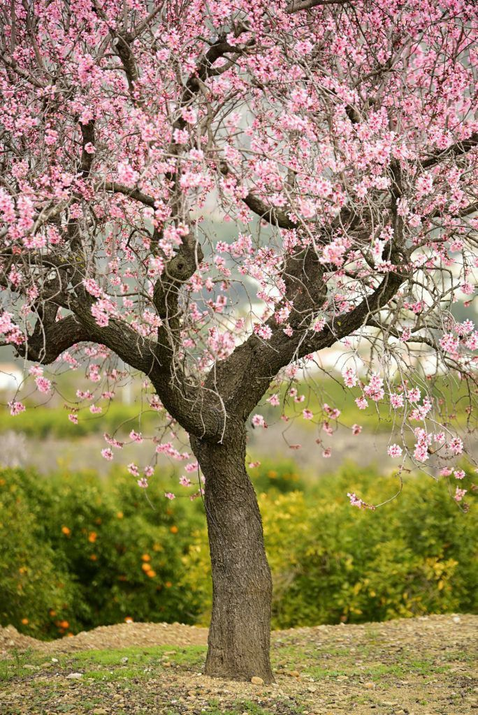Pin By Vic Bv On Arboles Wallpaper Nature Flowers Spring Scenery Cherry Blossom Art