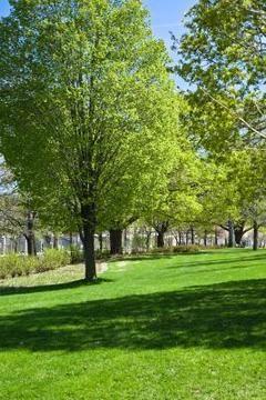 Carpinus betulus, European Hornbeam, is an attractive display or hedge tree.