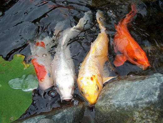 17 best images about koi pond on pinterest leaves fish for Popular pond fish