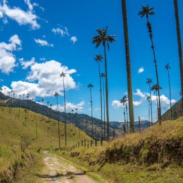 tallest-palm-tree-in-the-world-Coffee-zone-colombia-lulo