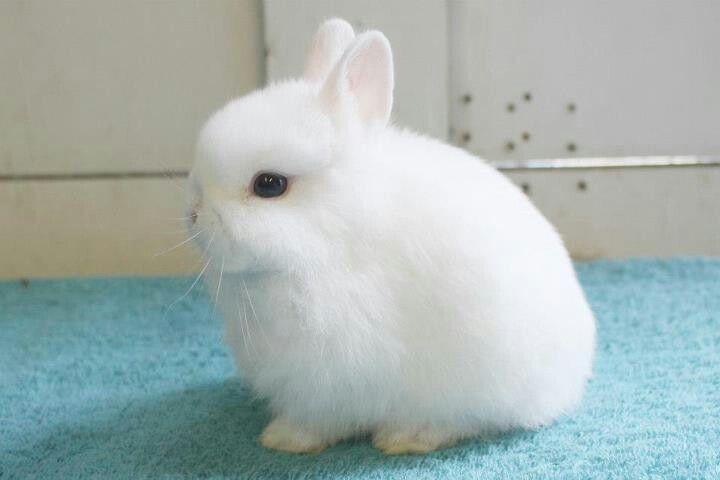 BEW Netherland Dwarf  Raising Rabbits  Pinterest
