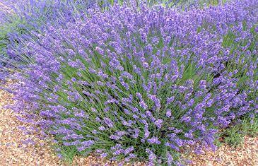 best 25 blue flower names ideas on pinterest blue names names of flowers and purple flower names. Black Bedroom Furniture Sets. Home Design Ideas