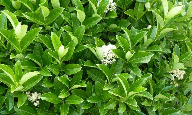 Viburnum Odoratissimum For The Hedge In The Backyard