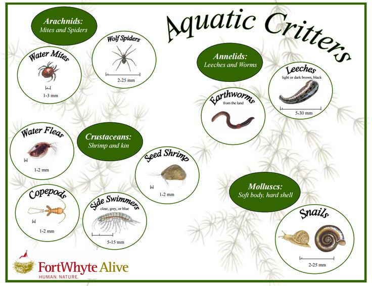 Aquatic Critter Key - figure out which invertebrates are swimming around in a wetland!