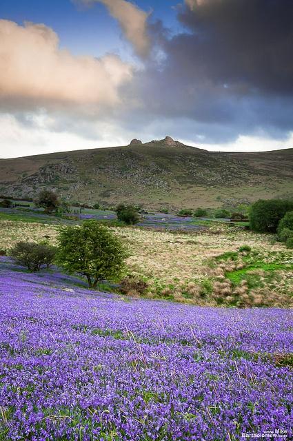 English bluebells on Dartmoor in the spring. Dartmoor National Park | Devon