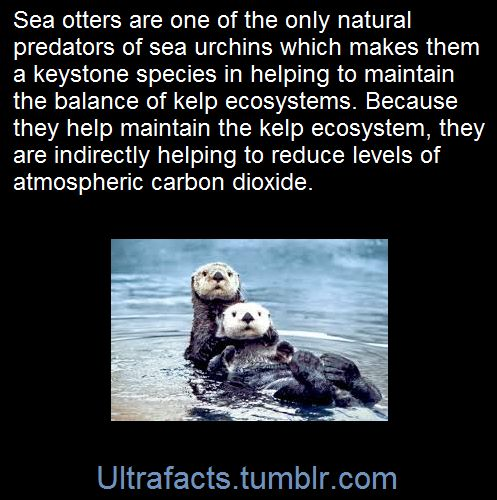 A keystone species, i.e. sea otters' role in their environment has a greater effect than other species. As predators, sea otters are critical to maintaining the balance of the near-shore kelp ecosystems. W/o them, the undersea animals they prey on would devour the kelp forests off the coast that provide cover & food for many marine animals. They indirectly help to reduce levels of atmospheric carbon dioxide, a prevalent greenhouse gas, as kelp forests play important role in capturing carbon