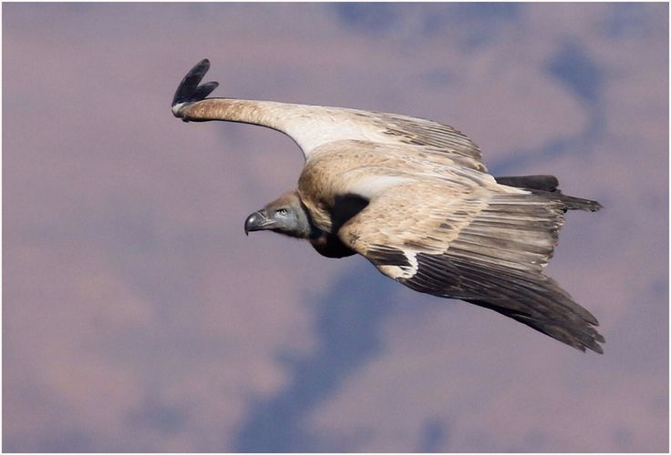 Cape Vulture @ Cathedral Peak,  South Africa...