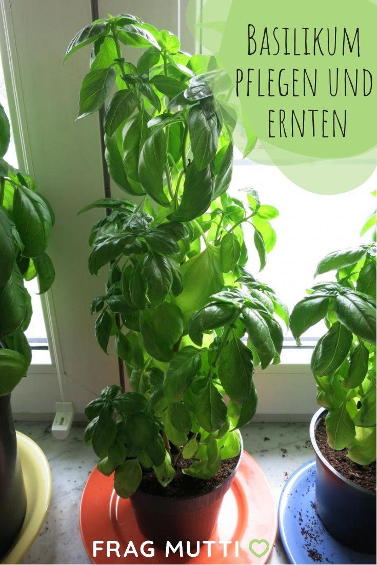 Basilikum pflegen und ernten   – Garten | Pflanzen, pflegen, bauen
