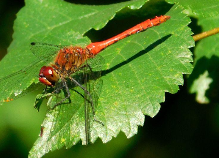 Vážka rudá - Sympetrum sanguienum