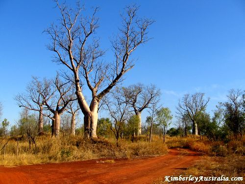 Boabs along a track in the Kimberley