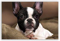 Французский бульдог. Всё о породе Французские бульдоги отнесены МКФ (Международной Кинологической Федерацией) к группе декоративных собак и собак-компаньонов.  Эта порода имеет следующие отличительные признаки: небольшой рост, при этом крупная, но короткая морда, вес порядка 9-15 кг ... http://c.cpl1.ru/7kNM
