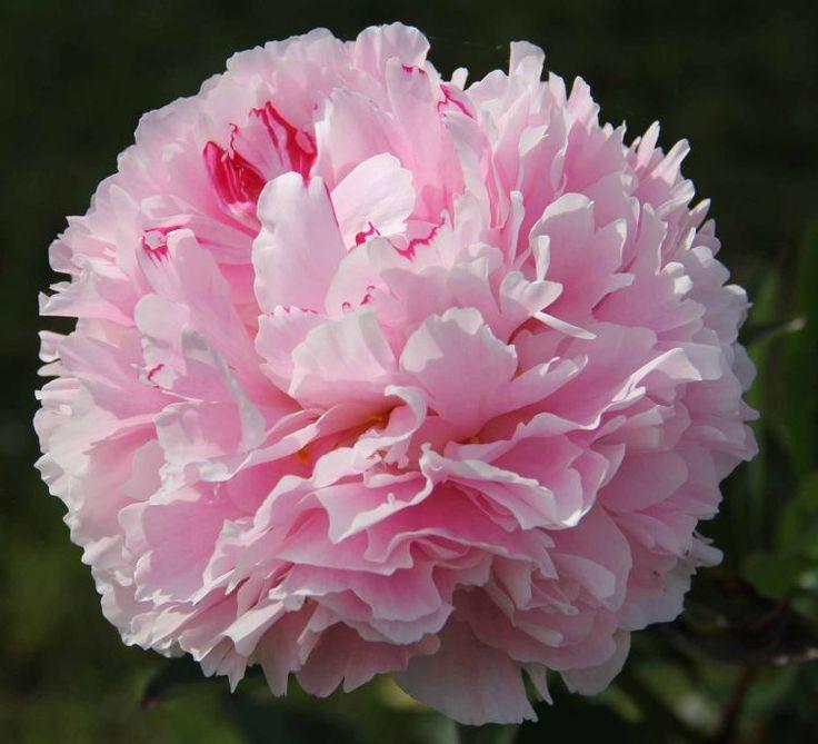 Paeonia 'Reine Hortense' (Herbaceous Peony)