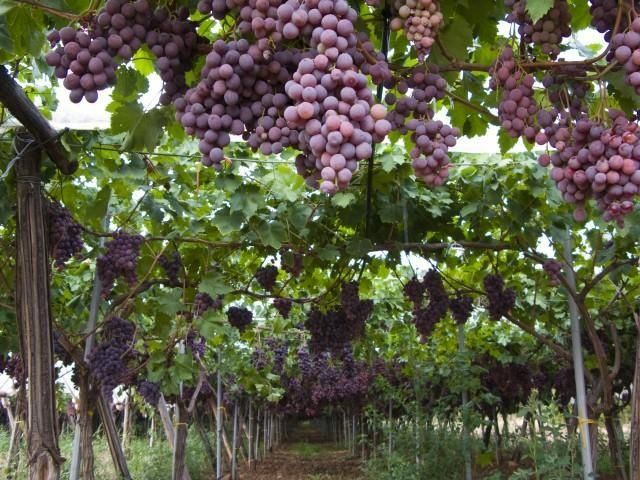 1000 images about grape kitchen ideas on pinterest for Table and vine