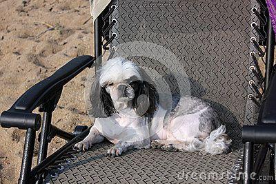 Funny bobbed shi tsu on chair