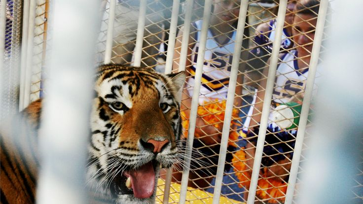 "LSU mascot ""Mike the Tiger"" diagnosed with cancer"