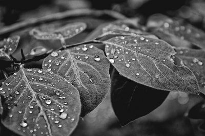 bwstock.photography - photo | free download black and white photos  //  #drops #leaves