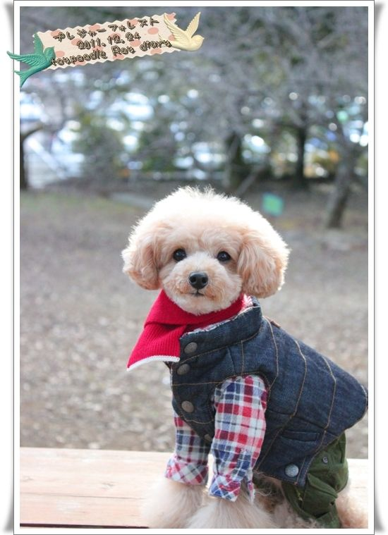 Lumberjack Poodle