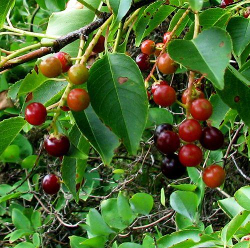 Árboles frutales de crecimiento rápido 5