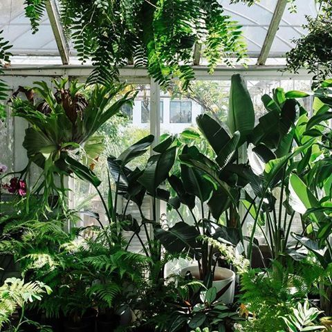 A good dose of mid May sunlight in the glasshouse.  | Strelitzia (Bird of Paradise) | Boston fern | Staghorn Fern
