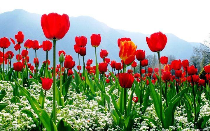 Gambar Tanaman Hias - Bunga Tulip