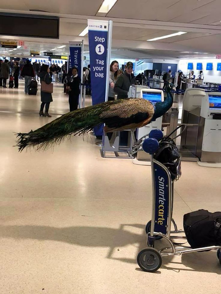 United Airlines Forced Emotional Support Peacock to Give