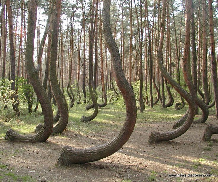 The Crooked Forest at Gryfino