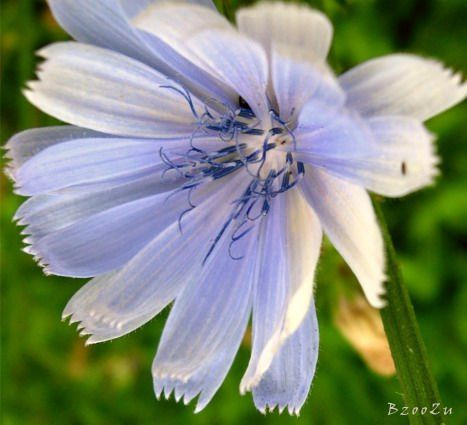 Chicory in our garden. 6.7.2013