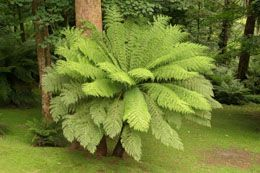 Australian Tree Fern: Not Drought Tolerant