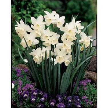 Triandrus Tresamble Daffodil Bulbs
