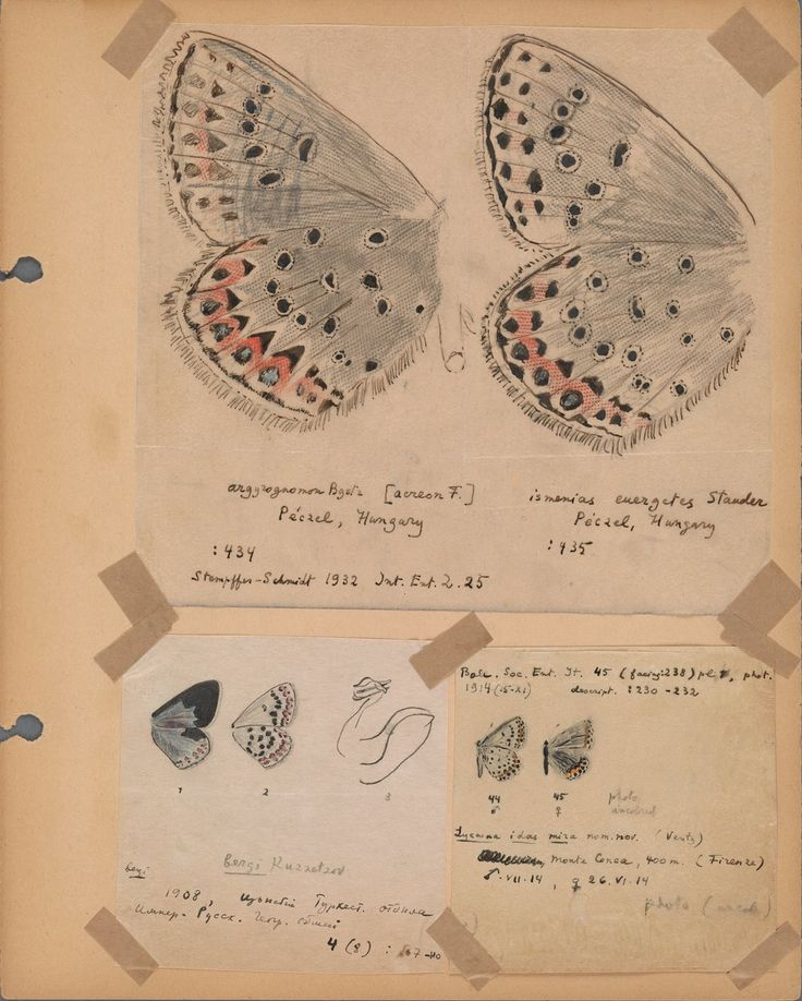 Vladimir Nabokov's butterfly art – in pictures | Books | The Guardian