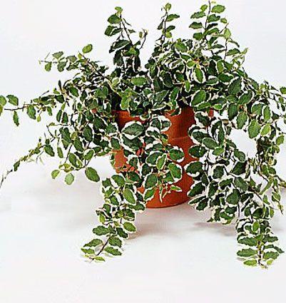 Ficus pumila/vesifiikus, kääpiököynnösviikuna