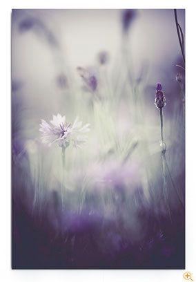 """""""Fragile"""" von Monika Ehrmann. Ästhetisches Blumenbild von einer Kornblume in Violetttönen."""