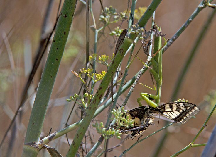 un attimo e l'ha acchiappata con uno scatto fulmineo  in questo momento si stà mangiando il corpo della farfalla
