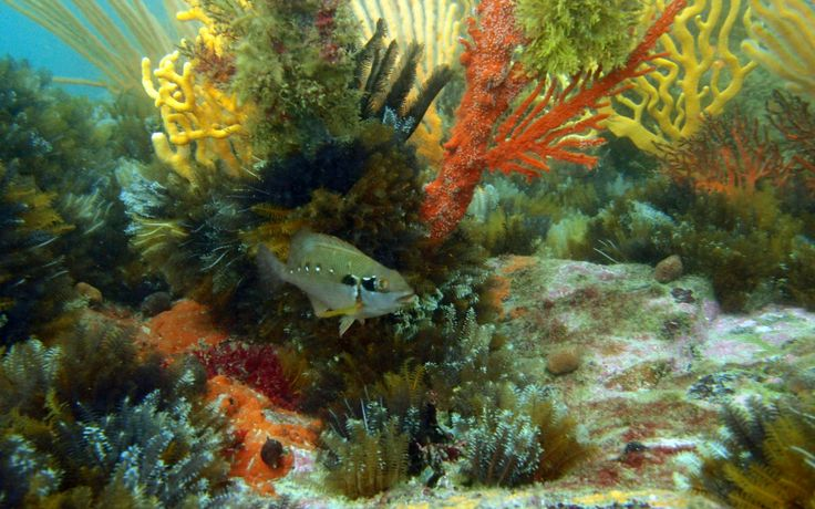 Twotone fingerfin & feather stars