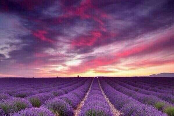 Лавандовые поля во Франции pic.twitter.com/WkYzHzV6oc