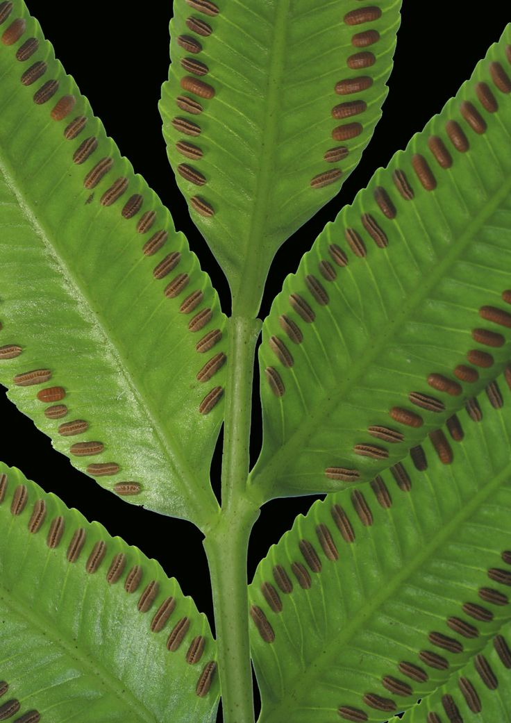 327 best ferns images on pinterest ferns plants and for Fern house plant seeds