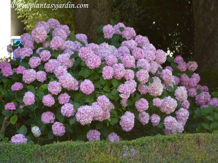 La hortensia de flor rosa arbustos con flores for Arbustos con flores