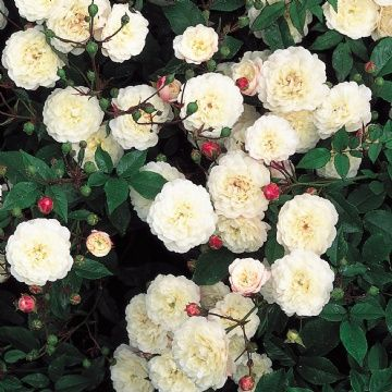 Rosa 'Little White Pet' ~ English shrub rose.