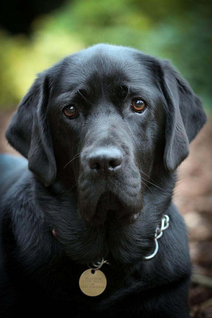 black labrador retriever