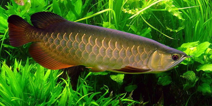 19 best images about arowana dragon fish on pinterest for Freshwater dragon fish