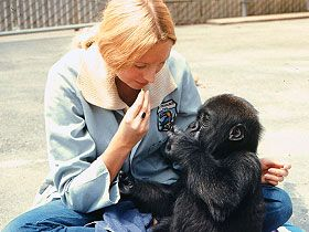 Why Teach American Sign Language to a Gorilla? - koko the gorilla - the gorilla foundation - animal cognition - primate learning