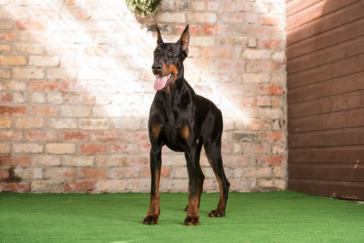 Hector Dobermans for Sale, Hector Dobermans is a lovely dog. Call Now: 0785 8120 456 for details.