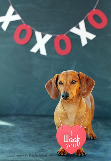Happy Valentine's Day Friends // Ammo the Dachshund