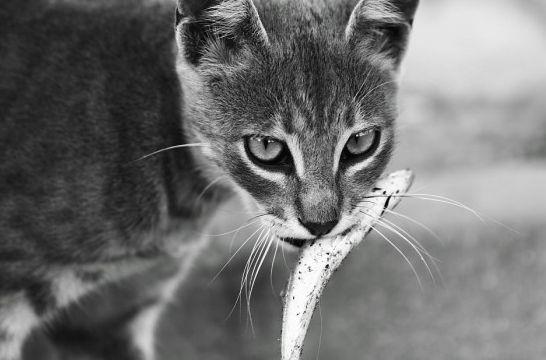Ocho alimentos peligrosos para el gato   EROSKI CONSUMER. Los gatos que ingieren comida inadecuada para ellos pueden padecer destrucción de glóbulos rojos, diarreas, intoxicación e incluso morir, en los casos más graves