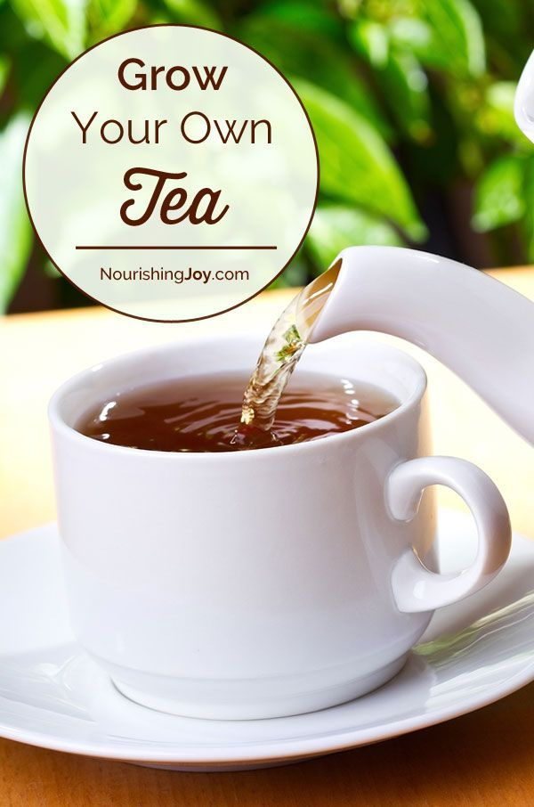 Did you know you can grow your own tea? It's simple and it saves SO much money.